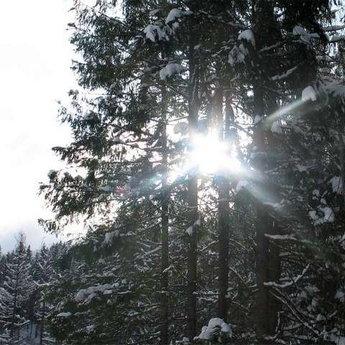Сонячне проміння пробивається крізь засніжені лапи ялинок в Карпатах