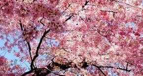 Sakura Fest
