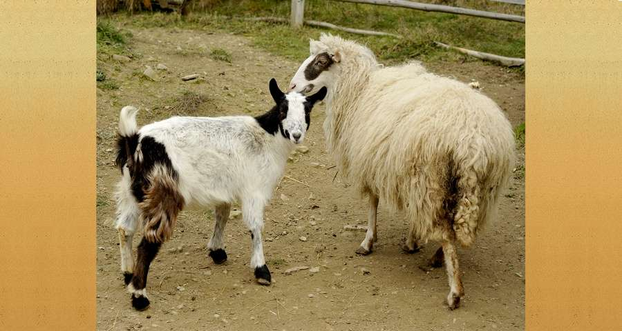 Коза і вівця, ГВК Вежа Ведмежа