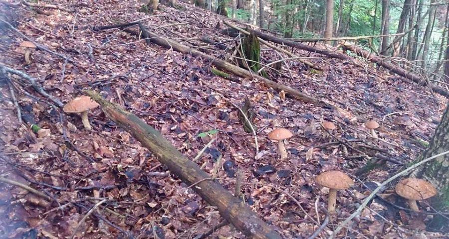Поляна з грибами в Карпатському лісі