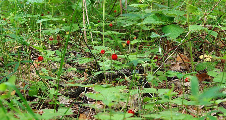 Лісова суниця в Карпатах
