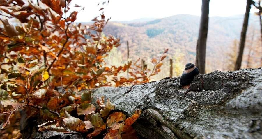Carpathian Mountains, autumn, snail