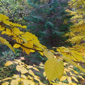 Carpathian Forest in October, autumn colors