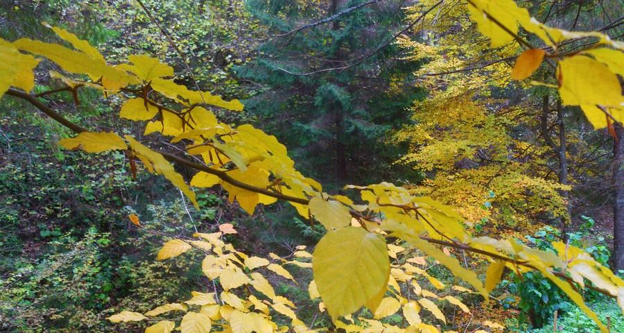 Карпатський ліс в жовтні, барви осені
