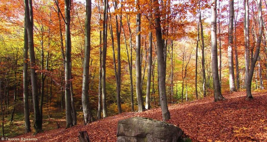 Fallen leaves in the Carpathian Forest, Slavske