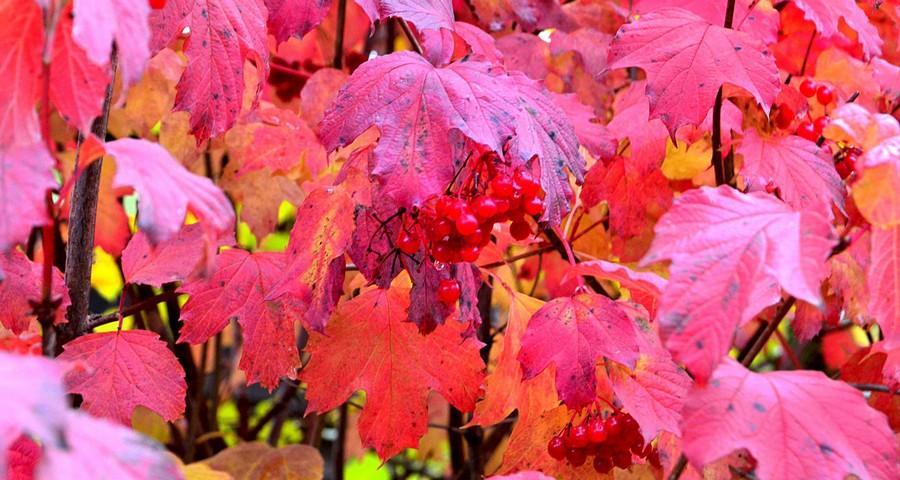 Crimson autumn leaves