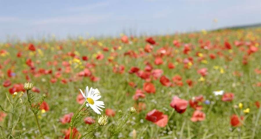 Літнє квітуче поле в Карпатах, маки