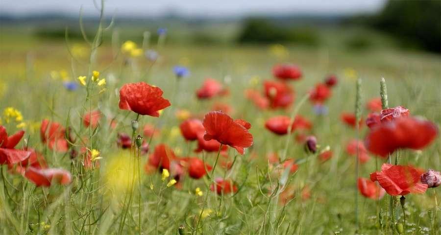 Маки - карпатські квіти. Найкращий літній відпочинок в Україні