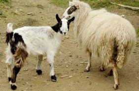 міні ферма в карпатах барани вівці