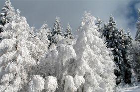 засніжений карпатський ліс волосянка