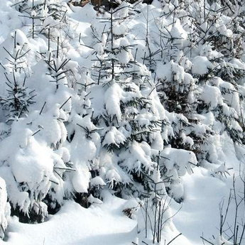 Carpathian forest in winter