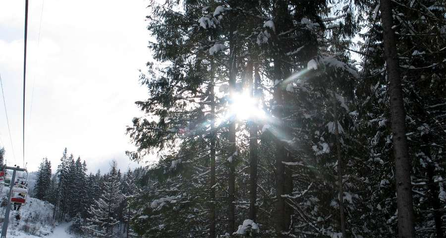 Sunlight breaks through the snow-covered paw trees in Carpathians