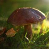 Збирання грибів у Карпатах