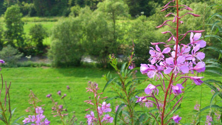 карпати природа літо квіти