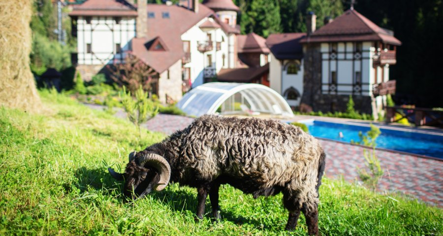 Sheep grazing on the lawn. Summer 2018 in the Carpathians