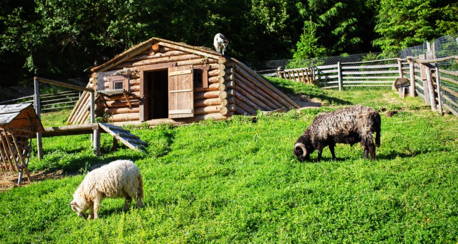 Sheep, goat and sheep on a mini-farm in the Carpathians