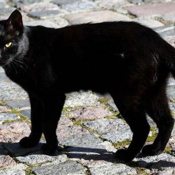 Black Cat, Vezha Vedmezha