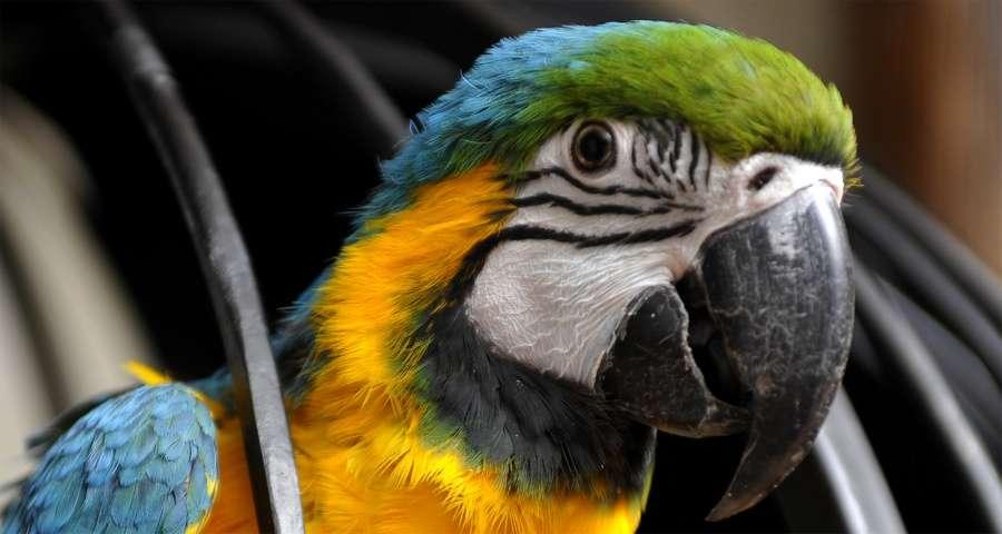 Parrot in Vezha Vedmezha