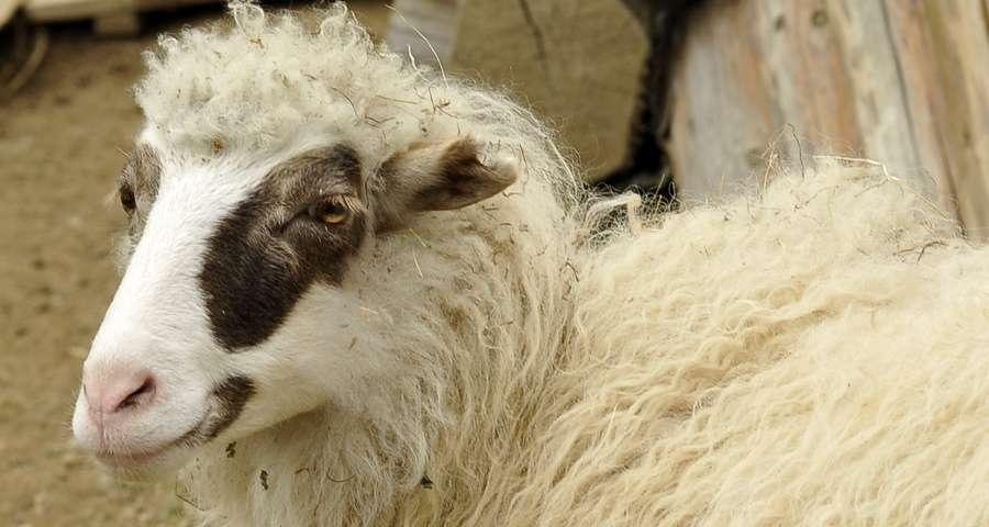 Вівця, міні-ферма в Карпатах