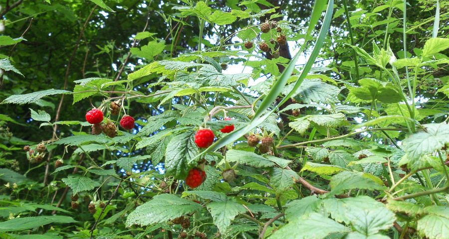 Wild raspberries forest in Carpathians