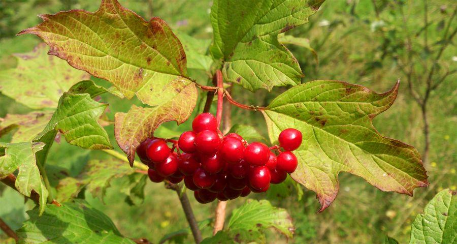 Калина осіння ягода