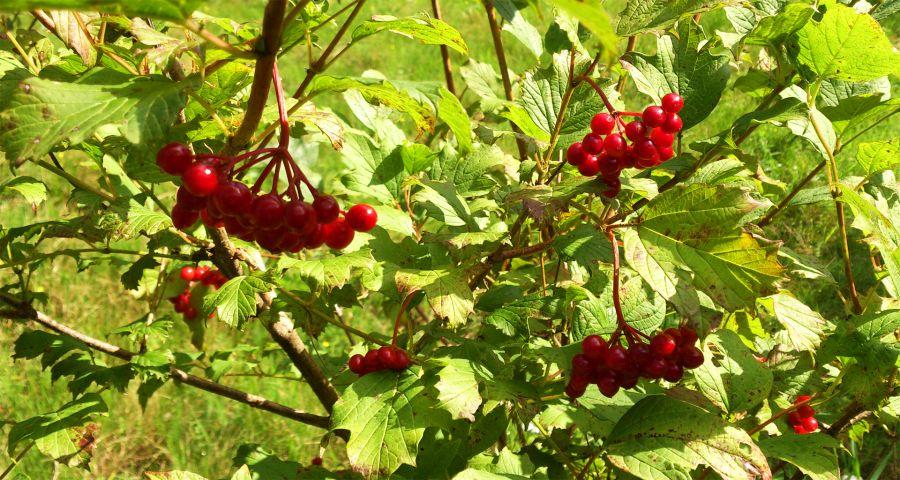 Autumn viburnum berries in the Carpathians