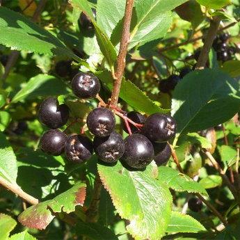 Чорні ягоди, Карпати Славське