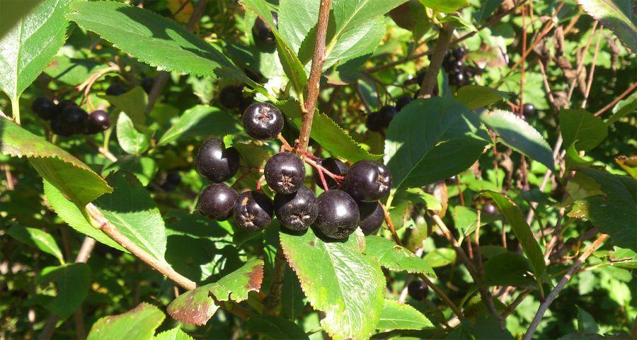 Black berries, Carpathians Slavskoe