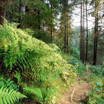 Fern in the Carpathians, Bear footpath